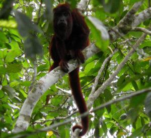 manu monkeys